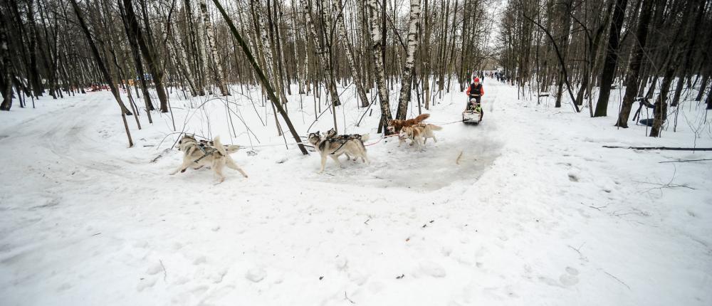В Сокольники приехали лечебные хаски