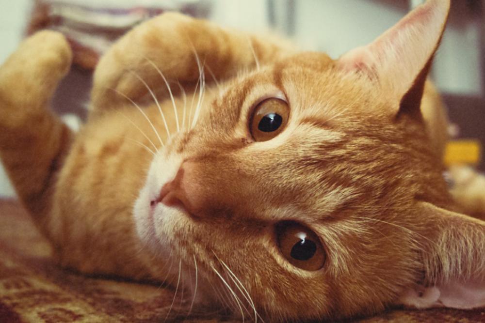 Мататаби: кошачий «наркотик» из Японии