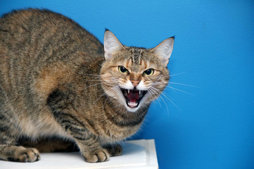 К чему снятся злые кошки