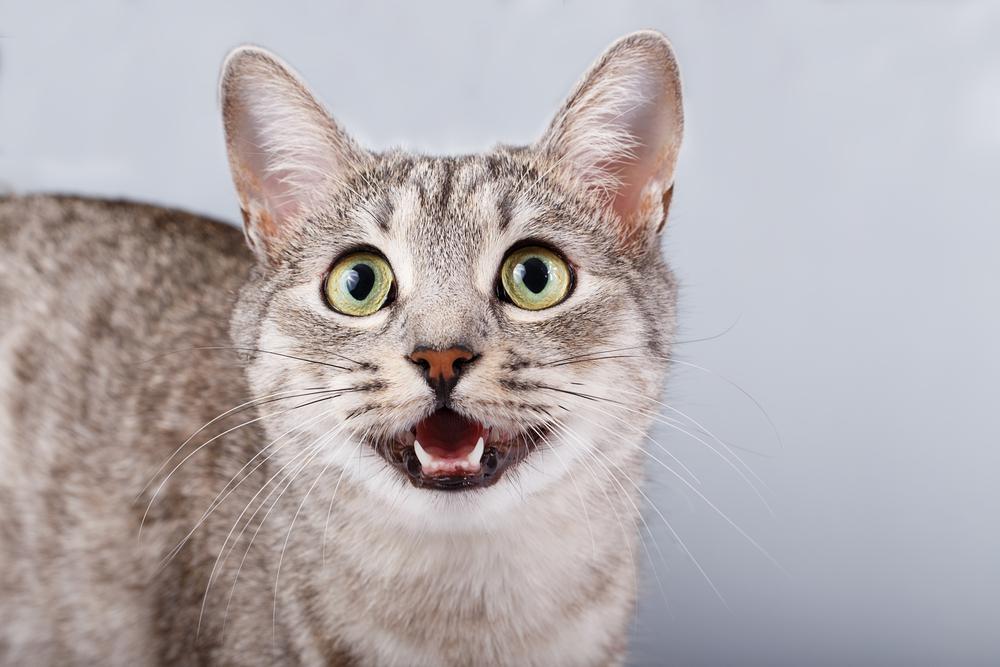 Если кот мяукает и бегает