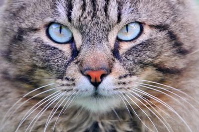 Британский котенок лижет обои